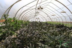 light deprivation greenhouse cannabis